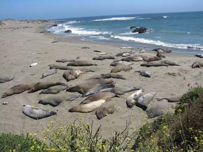 elephant seals on Big Sur Coast