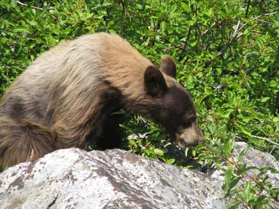 Bear at Kings Canyon