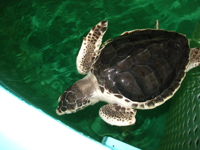 Kemp's Ridley turtle