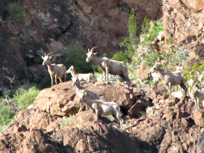 Big Horn Sheep